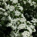 White flowers, Weybourne