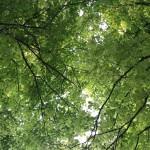 Leafy canopy, Farnham