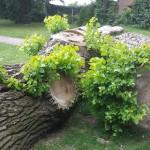 Sprouting tree, Aldershot