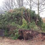 Fallen tree, Aldershot