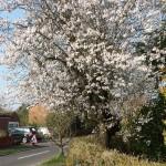 Blossom, Weybourne