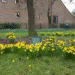 Daffodils, Farnham