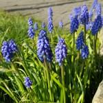 Spring flowers, Aldershot