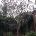 Flowering tree, Farnham