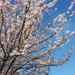 Spring blossom, Aldershot