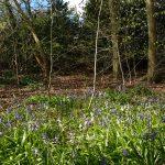 Bluebells, Farnham