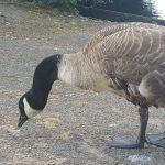 Goose, Alton