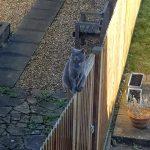 Grey Cat, Alton