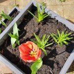 Tulip, Alton