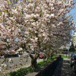 Magnolia, Alton